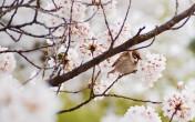 2015年 桜と雀 ~ズズメはサクラの蜜を吸う~